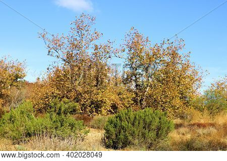 Chaparral Shrubs And Sycamore Tree Leaves Changing Colors During Autumn Taken On A Rural Field At A