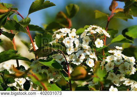 Buds And White Flowers Of A Decorative Shrub Spirea Close-up. Flowers For A Bouquet Or Decor Of Flow