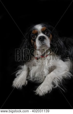 Portrait Of A Funny Dog Breed Cavalier King Charles Spaniel In A Room Lying On A Black Background