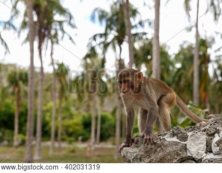 Monkey In Its Natural Habitat, Rainforest And Jungle, Sitting On A Rock And Looking Into The Distanc