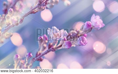 Prunus Subhirtella, The Winter-flowering Cherry. Close-up On Buds And Flowers. Soft Focus With Light
