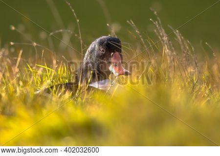 Common Shelduck (tadorna Tadorna) Waterfowl Bird  Resting In Grass In Tidal Marsh Wetland At Wadden