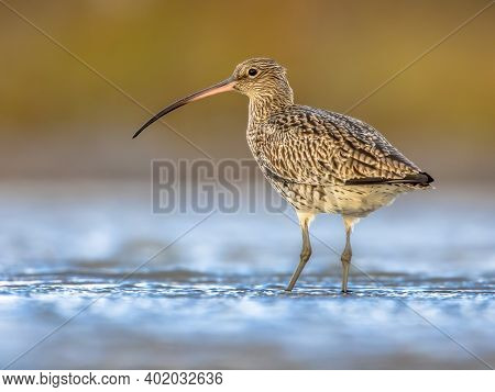 Eurasian Curlew Or Common Curlew (numenius Arquata) Stilt Bird Wading Is Shallow Water Of Waddensea.