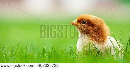 Banner Show Baby Easter And Newborn Chicken On Fresh Green Grass For Easter Holiday Concept Design O