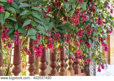 Fuchsia Or Onagraceae And Wooden Fence Close Up