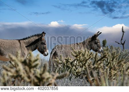 Two wild Burros at Red Rock Canyon National Conservation Area outside of Las Vegas Nevada.