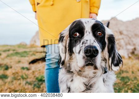 Black And White Purebred English Setter Dog With Squint Being Walked By Unrecognizable Person In Yel
