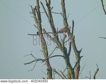 Hawk Hunting: A Red-tailed Hawk Bird Of Prey Perched High In A Dead Tree Examining The Prairie Hunti