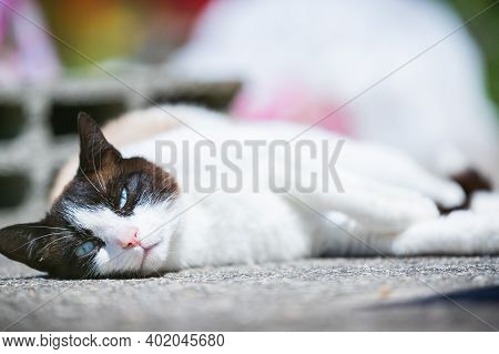 Siamese Ragdoll Crossbreed Cat Resting In The Sun On A Terrace In Summer