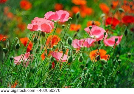 Pink And Red Icelandic Paper Poppy Flowers In Grassland With Shallow Depth Of Field Background.