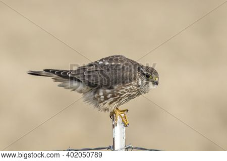 A Prairie Falcon Is Perched On A Metal Fence Post In North Idaho.