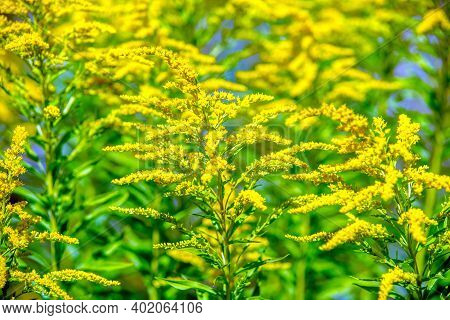 Goldenrod Yellow Flowers On A Green Natural Background