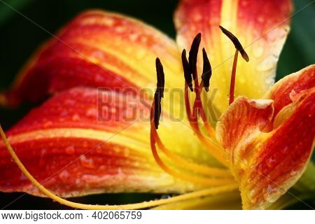 In The Center Of A Flower Of A Day Lily With Bright Long Petals There Are Stamens Of Black Color. In