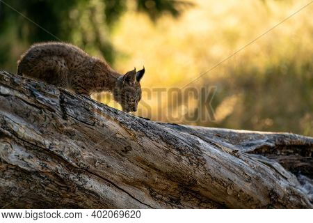 Lynx Cub On The Fallen Tree Trunk From Side View. Focused Small Baby Animal. Lynx Lynx.