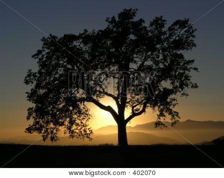 Oak Tree Against Sunset