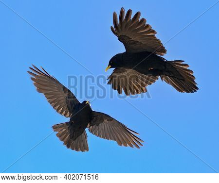 Alpine Chough Couple ,  Pyrrhocorax Graculus - Flying Birds