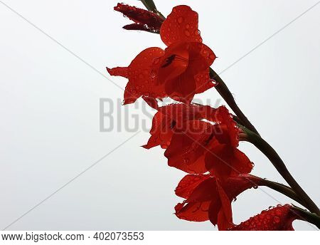 Macro Photography - Low Angle Shot Of Red Gladiolus With Raindrops, Red Flower With Water Drops Isol