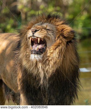 Lion Roars In Jungle: Wild Life And The King