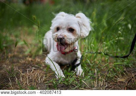 Dog Breed Maltese Lapdog After Grooming Salon. Maltese Lapdog Sits On The Grass.