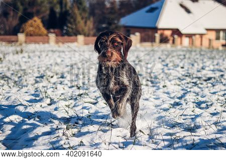 Cesky Fousek Jumps Through Snowy Field. The Focused Look Of Young Bohemian Wire As She Sprints For H