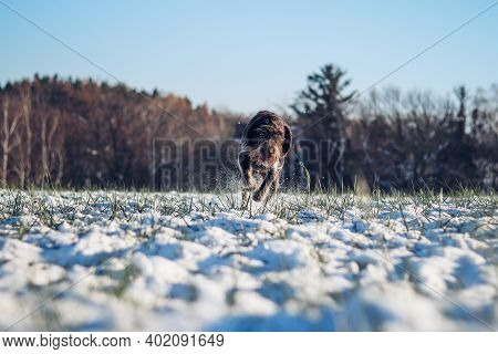 Cesky Fousek Runs Through A Snowy Field. Focused Look Of A Young Bohemian Wire As She Sprints For Hi