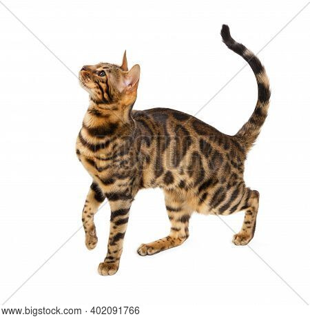 Beautiful Adult Cat Bengal Breed Isolated On White Background.