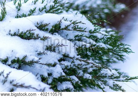 Green Juniper Branch In The Snow. First Snow And Frost On The Branches, Selective Focus. Postcard. W
