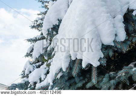 Snowfall. Snowdrifts On Spruce Paws. Snowy Spruce Paws Of The Tree In The Snow, Fresh Snowdrifts. Gr