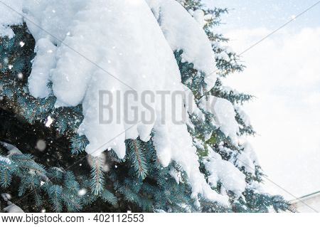 Snowfall. Snowdrifts On Spruce Paws. Winter. Snowy Spruce. Furry White Paws Of Christmas Trees. Wint