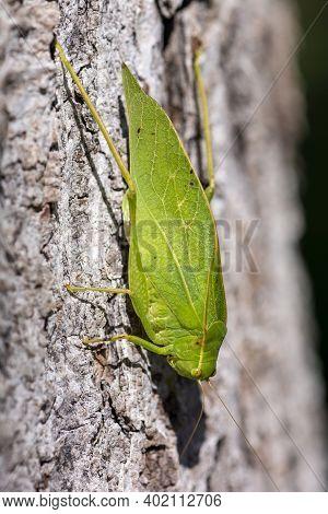 A Green Katydid Standing On Brown Tree Bark Mimics The Look Of A Leaf.