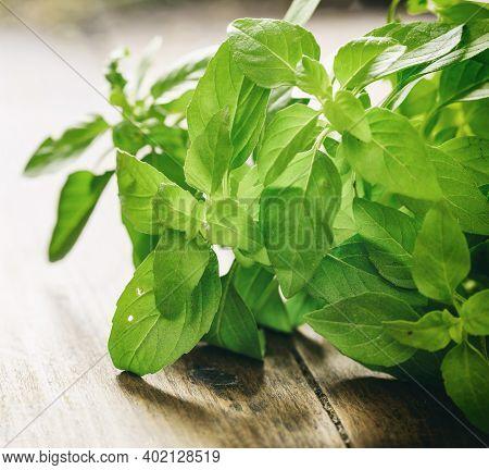Fresh Basil Plant Leaves On Wooden Background.