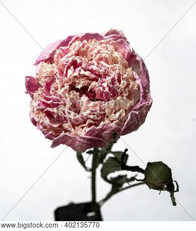 Dried Peony. Isolated On A White Background Dry Flower With Crumpled Parts Of Dry Leaves And Petals