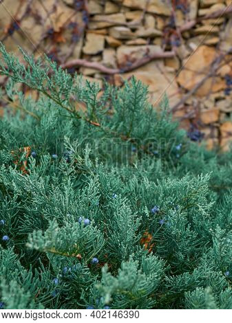 Juniper Branches With Berries On The Background Of A Stone Wall. Winter On The Coast, Juniper In The