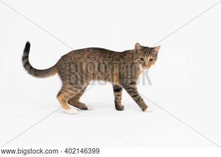 A Cat Of The European Breed, That Is Multiracial With Black-brown Color. Cat Freely Walks Isolated O