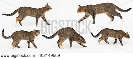 Collection Of Many Different Cat Behaviors Placed On White Background. She-cat Is A Crossbreed Of Ma