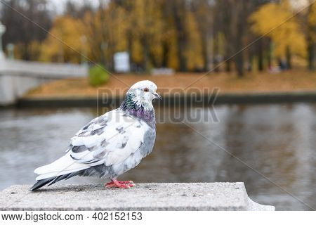 Motley Grey And White Pigeon Is Sitting On The Marble Pedeslat Of The Embankment Of The River Nevka