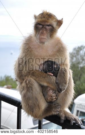 Female Monkey Protects Baby And Looking Alert And Strictly Into Camera. Mother Monkey Sits On Fence
