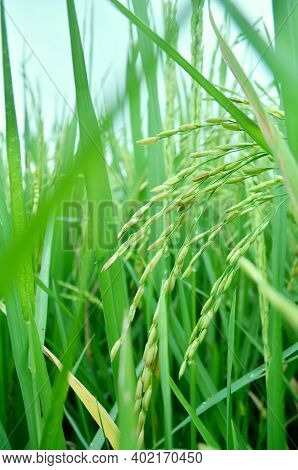 Close Up Of Ripe Green Paddy Plant In Rice Field Taken In Vertical