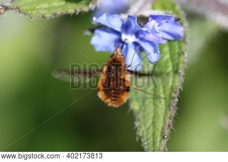 Green Alkanet, Pentaglottis Sempervirens, Blue Flowers With A Bee Fly, Bombylius Major, Hovering And