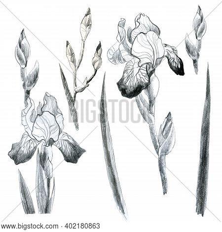 Illustration Pencil Set. Iris Flowers. Freehand Drawing. Iris Branches. Iris Leaves.