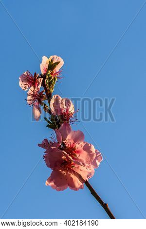 Close Up Of A Blooming Almond Branch Against Blue Sky, German Wine Route, Rhineland-palatinate, Germ