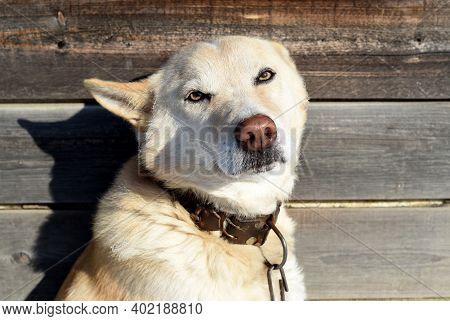 Dog Body Language: Scared Dog With Ears Flattened