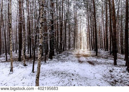 Winter Foggy Pine Forest Scene. Frosty Winter Morning In The Woods. Ecological Concept. Winter In Th