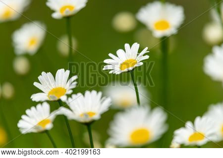 Flowering Oxeye Daisies (leucanthemum) Growing In A Meadow On A Cloudy Day In Summer, Austrian Alps