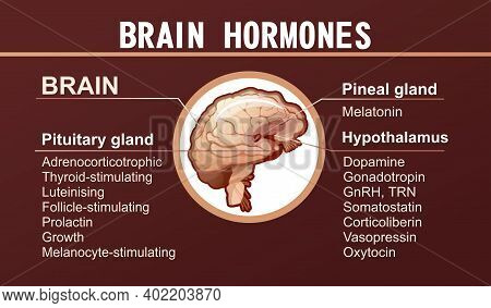 Information Banner With A List Of Hormones Secreted By The Glands Of The Human Brain For Training An