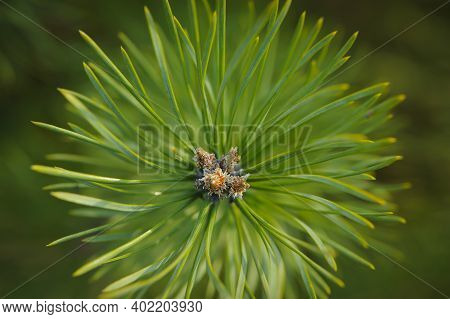 Green Pine Needles Background Texture. Macro Of Beautiful Long Green Needles Of Austrian Pine. The O