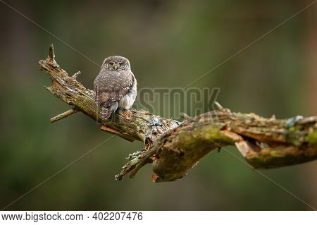 Eurasian Pygmy Owl Sitting On Old Tree With Copy Space.