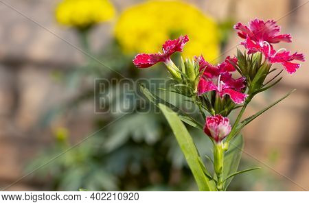 Dianthus Chinensis Flower Close Up With Blurry Background