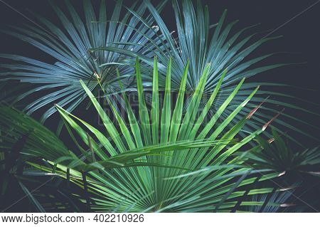 Beautiful Natural Fan Palms In The Bush Land Under Canopy During A Bush Walk, Also Known As Darangga