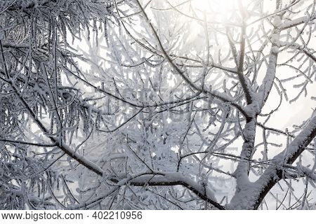 Sun And Tree Branches Covered With Snow And Hoarfrost